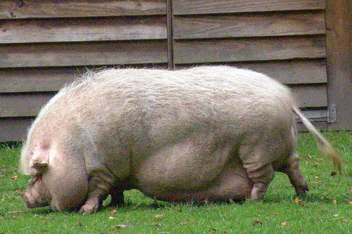 chubbygainer | Similar Worlds |Really Fat Pigs